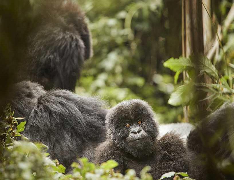 In-spiration Ruanda Berggorillas